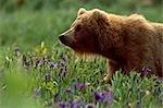Adult Grizzly Walking Through Meadow of Wild Iris, McNeil State Game Sanctuary, Southwest Alaska