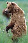 Ours brun debout dans l'herbe près de la rivière McNeil. Été dans le sud-ouest de l'Alaska.