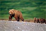Ours brun et deux oursons, marchant sur la plage de la rivière McNeil. Été dans le sud-ouest de l'Alaska.