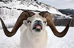 Gros plan du mâle le mouflon de Dall Yukon, au Canada pendant l'hiver