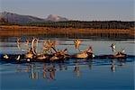 Caribou herd swimming across Kobuk River Arctic Alaska Autumn Kobuk Valley National Park