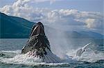 Humpback whale bubble net feeding Inside Passage Southeast Alaska