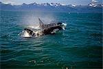 Pair of Orcas swimming on surface Inside Passage Southeast Alaska Summer