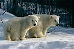 Polar bear cubs on snow Anchorage Zoo Alaska