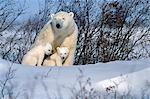 Polar Bear Sow & Cubs Resting in Snow Churchill Canada