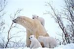 Polar Bear Sow w/triplets in forest Churchill Canada Spring