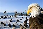 Annual gathering of Bald Eagles on Homer Spit w/closeup Kachemak Bay Kenai Peninsula Alaska