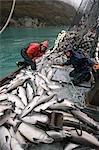 Équipage du senneur Commercial charger ses prises de saumon argenté dans la cale sur * Sonja m Port Valdez en Alaska PWS