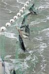 Saumon rouge sont pris dans un filet maillant dans la baie de Bristol en Alaska