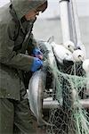 Pêcheur commercial démêler un saumon d'un filet maillant à bord d'un bateau de pêche commerciale baie de Bristol en Alaska