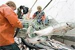 Commercial fisherman untangle sockeye salmon from a gillnet aboard a commercial fishing boat Bristol Bay Alaska
