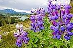 Lupine flowers near Lost Lake Seward Alaska Chugach National Forest Southcentral summer