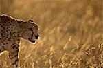 Gros plan de Cheetah (Acynonyx Jubatus) marche en contre-jour, Masai Mara, Kenya