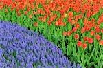 Grape Hyacinth and Tulips, Keukenhof Gardens, Lisse, Holland