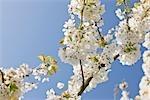 Gros plan de fleurs de pommier