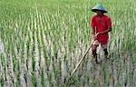 Homme dans le champ de riz paddy, Java, Indonésie