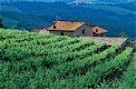 Vignoble en Chianti, Chianti, Toscane, Italie