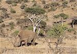 Rhino on Lewa Downs,Northern Kenya,Kenya,Africa