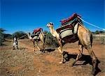 Camel treking,Loisaba Ranch,Northern Kenya