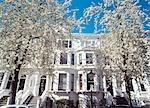 Cherry blossom trees in full bloom,Palace Gardens Terrace,Kensington,London,UK.