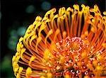 Detail of a Protea flower,Kirstenbosch Botanical Gardens,Cape Town,South Africa.