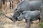 Rhino en Afrique du Sud