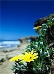 Fleurs à côté de la mer près de Sedgefield sur la Garden Route, Afrique du Sud.