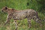 Cheetah traque. Sabi sands, Afrique du Sud.