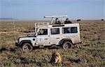 Lion watching on safari,Tanzania