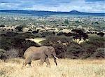Eléphant marchant dans l'herbe sèche dans le Parc National de Tarangire, Tanzanie.