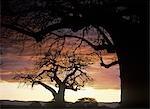 Baobab trees at dusk in Tarangire National Park,Tanzania.