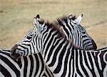 Deux zèbres dans le Parc National de Ngorogoro, Tanzanie.