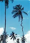 Palm tree allegedly struck by lightning. Zanzibar,Tanzania.
