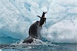 Phoque léopard attraper Gentoo Penguin, Antarctique
