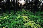 Wald, Store Mosse Nationalpark, Schweden