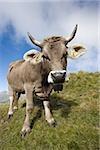 La vache sur le flanc d'une colline de Suisse