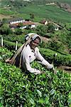 Tea picking, Western Ghats near Munnar, Kerala state, India, Asia