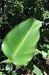 Feuille, zone de Arenal, Costa Rica, Amérique centrale