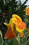 Canna Lily, Costa Rica, Central America