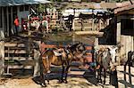 Pferde, Hacienda Guachipelin, in der Nähe von Rincon De La Vieja Nationalpark, Guanacaste, Costa Rica, Mittelamerika