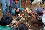 Fighting cocks, Toraja zone, Sulawesi, en Indonésie, l'Asie du sud-est, Asie