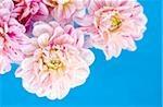 Fleurs Dahlia