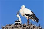 White Storks in Nest