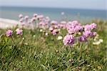 Gros plan de fleurs à la plage, Bovbjerg, Jylland, Danemark
