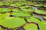 Géant Amazon eau Lillies, Sir Seewoosagur Ramgoolam Botanical Gardens, Ile Maurice