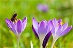 Honey Bee on Crocus Flowers