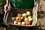Panier montrant l'homme de pommes à la récolte