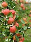 Pommes mûres sur l'arbre au moment de la récolte