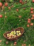 Panier de pommes sous pommier