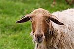 Close-up of Sheep, Cantabria, Spain